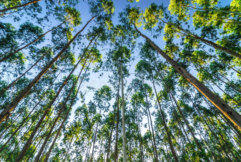 En el bosque del eucalipto imágenes de archivo libres de regalías