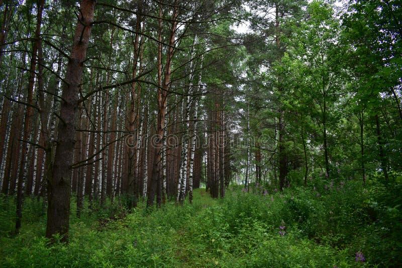 En el bosque en un herbaje grueso rodeado por el verdor en este pino imagen de archivo libre de regalías