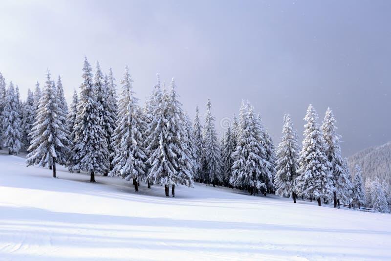 En el césped ancho hay muchos abetos que se colocan debajo de la nieve en el día de invierno escarchado imagen de archivo