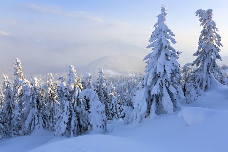 En el césped ancho hay muchos abetos que se colocan debajo de la nieve en el día de invierno escarchado El juego de la luz y de l fotografía de archivo