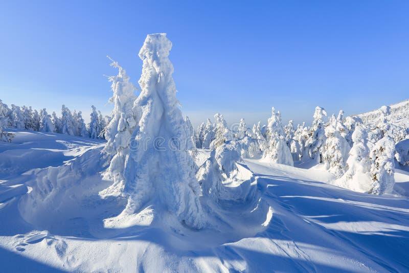 En el césped ancho hay muchos abetos que se colocan debajo de la nieve en el día de invierno escarchado El juego de la luz y de l fotos de archivo libres de regalías