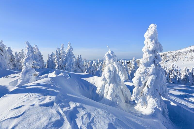 En el césped ancho hay muchos abetos que se colocan debajo de la nieve en el día de invierno escarchado El juego de la luz y de l imagenes de archivo
