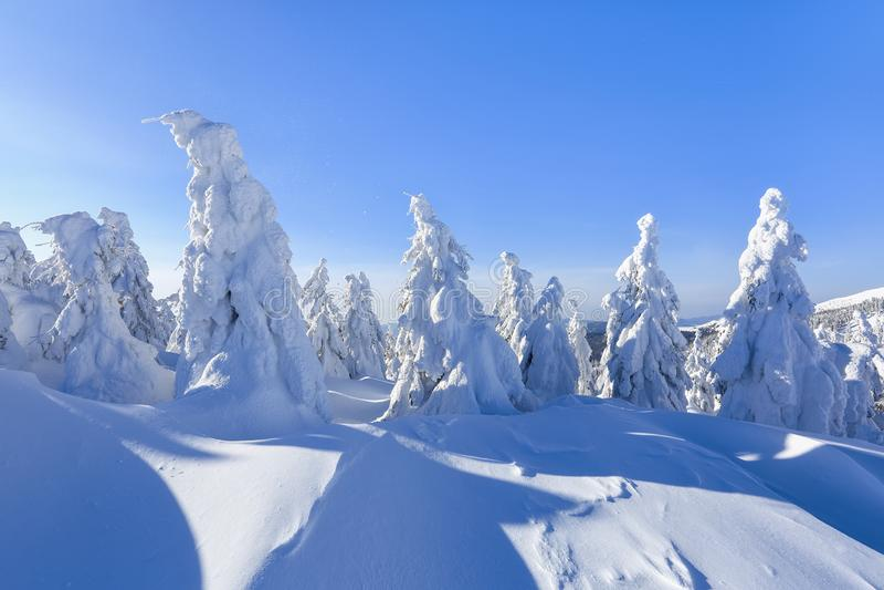 En el césped ancho hay muchos abetos que se colocan debajo de la nieve en el día de invierno escarchado El juego de la luz y de l fotos de archivo