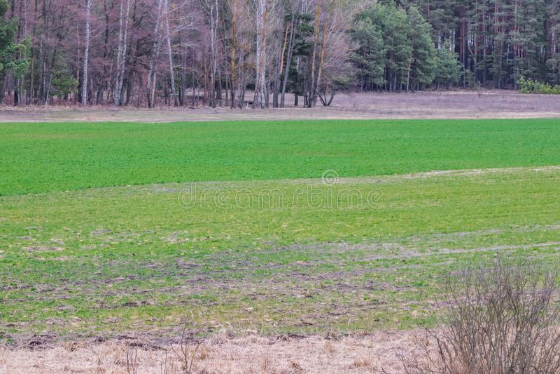 En el campo en trigo de primavera el grano brotó, una nueva cosecha del pan aparecerá fotos de archivo libres de regalías