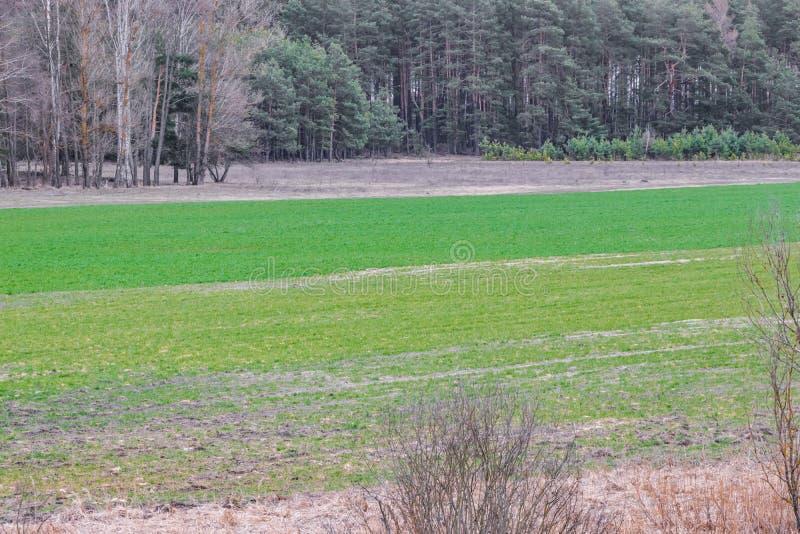 En el campo en trigo de primavera el grano brotó, una nueva cosecha del pan aparecerá foto de archivo