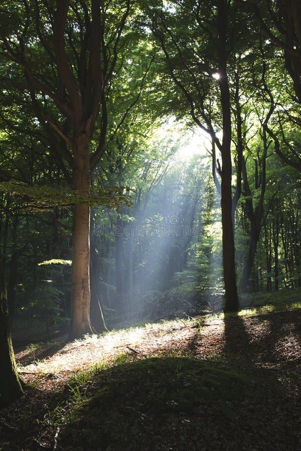 Download En el Forrest II foto de archivo. Imagen de árboles, verano - 42430744