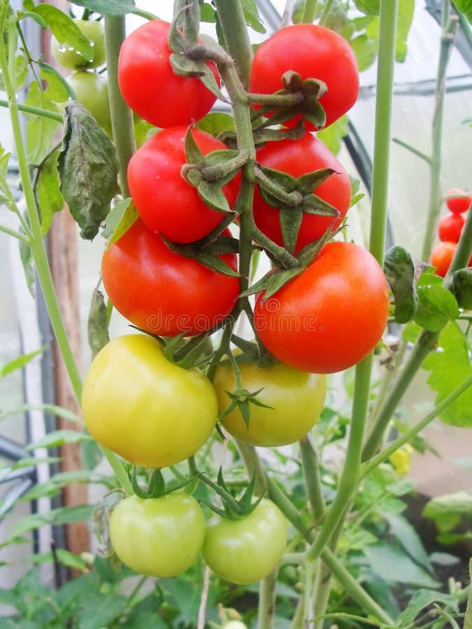 En el invernadero del jardín, tomates verdes de maduración en la rama de una planta de Bush tomate en el jardín fotografía de archivo libre de regalías