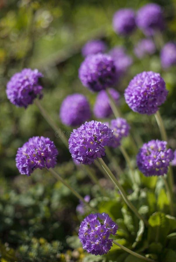 En el jardín en un día soleado - un manojo de flores púrpuras foto de archivo libre de regalías