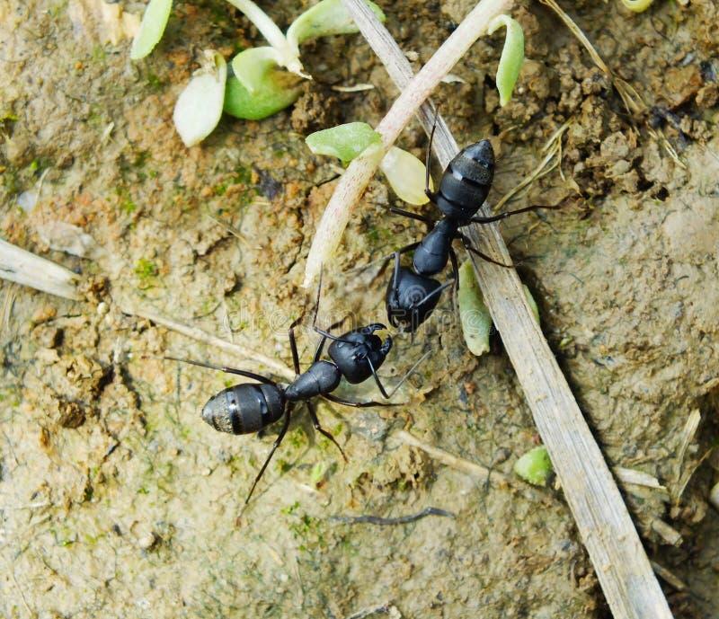En el lado de las dos hormigas imagen de archivo libre de regalías