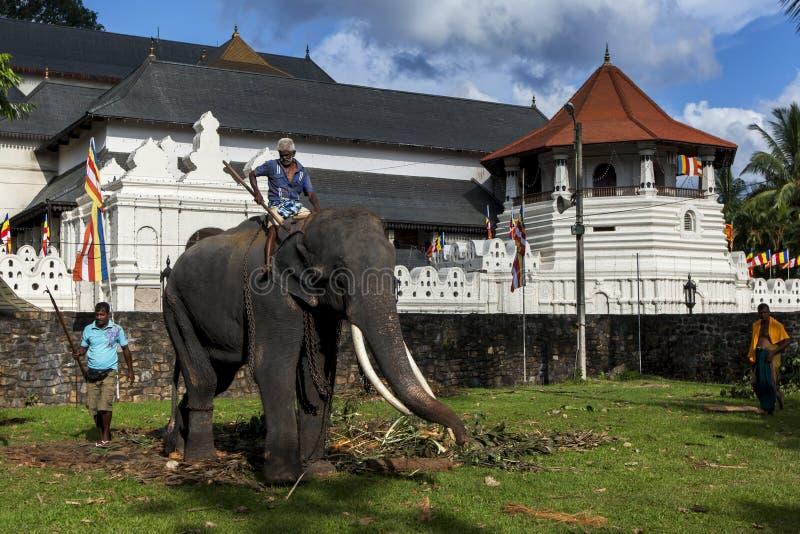 En elefant deltar tack vare i Esalaen Perahera kopplar av i framdelen av templet av den sakrala tandreliken i Kandy, Sri Lanka royaltyfria foton