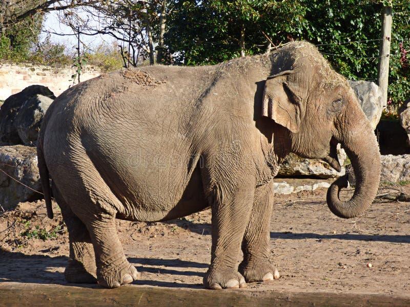 En elefant i profil royaltyfria bilder