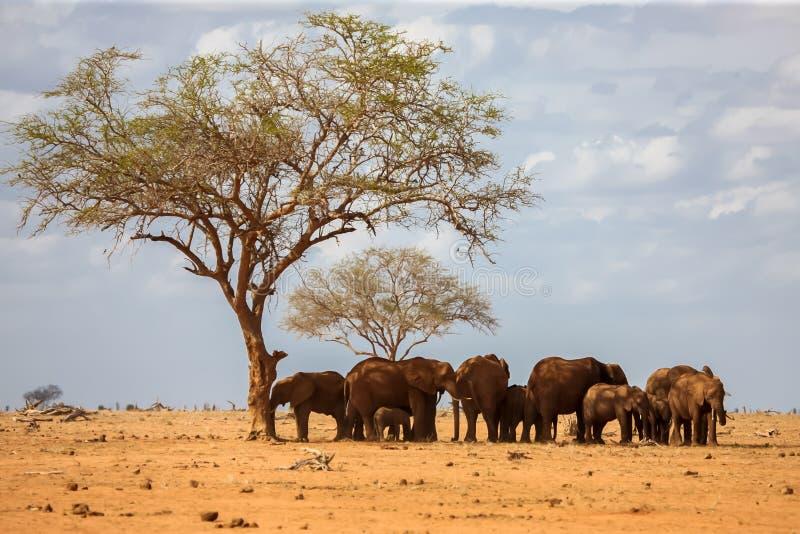 En elefantfamilj står under trädet, på safari royaltyfria foton