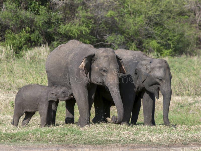 En elefantkalv matar från dess moder på den Minneriya nationalparken arkivbild