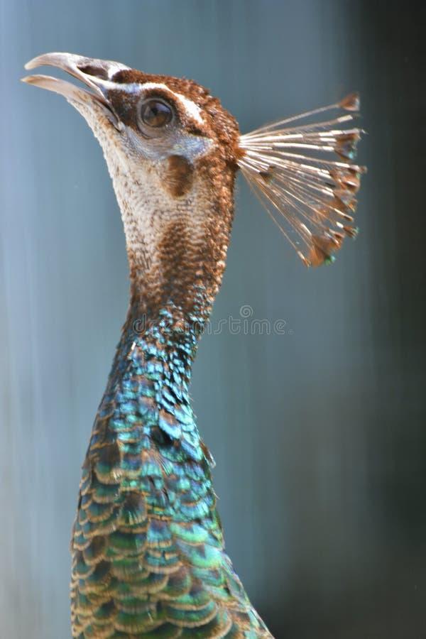 En elegant påfågelshöna - 2 arkivfoto