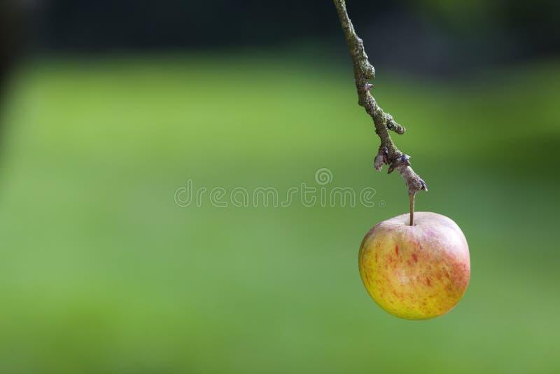 En enkel Apple som hänger på filialen av ett träd arkivfoton