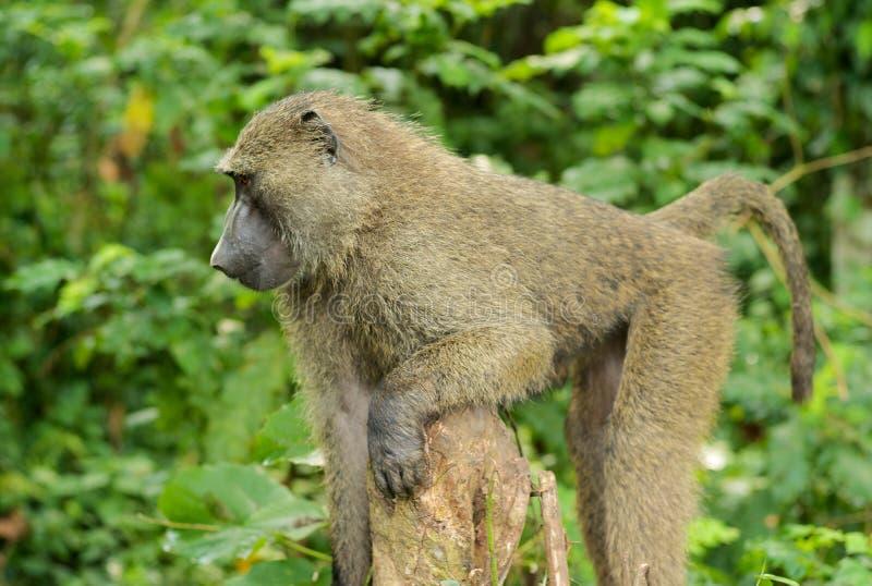 En enkel babian i djungeln royaltyfri foto