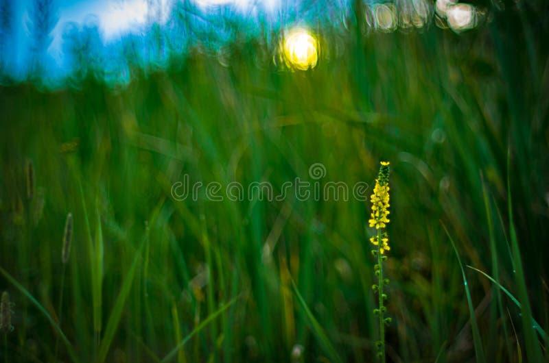 En enkel blommande gul blomma på en gräs- kulle i solen fotografering för bildbyråer