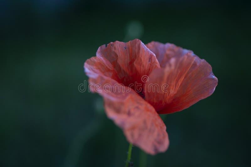 En enkel drömlik vallmoblomblomma med detaljer av bakgrund för om för röda kronblad enkel royaltyfria foton