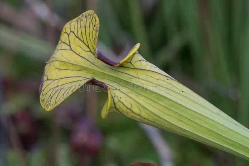 En enkel köttätande växt fotografering för bildbyråer