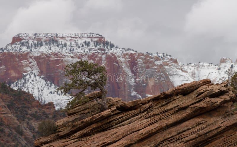 En enkel en på utlöpare av röd sandsten av den västra templet i Zion National parkerar med molnig himmel och snöar framme royaltyfria bilder