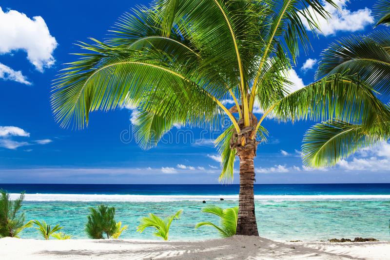 En enkel palmträd som förbiser den tropiska stranden på kocken Islands royaltyfri fotografi