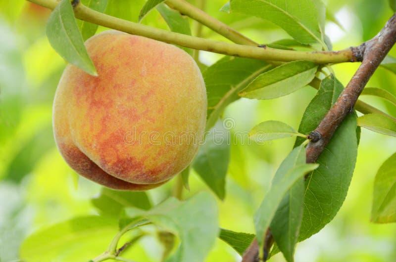 En enkel s?t saftig persika p? ett persikatr?d arkivfoton