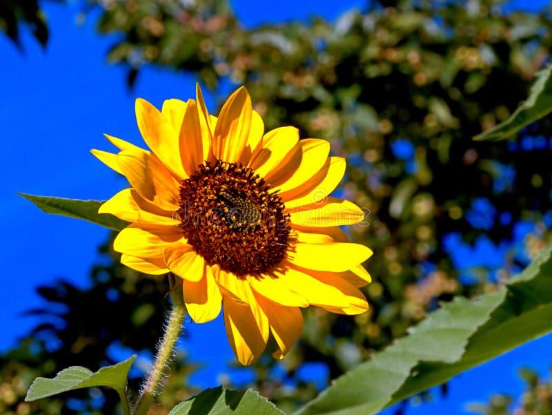 En enkel solros som blomstras fullständigt royaltyfri bild