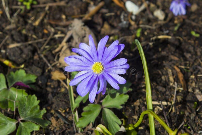 En enkla purpurfärgade Anemone Blanda i en stads- trädgård i tidig vår royaltyfri bild