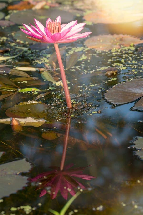 En enkla röda waterlily Lotus med vattenreflexion arkivbilder