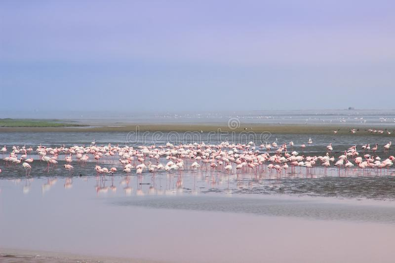 En enorm flock av eleganta rosa flamingo som söker efter blötdjur i kalla vattnen av Atlanticet Ocean royaltyfri fotografi