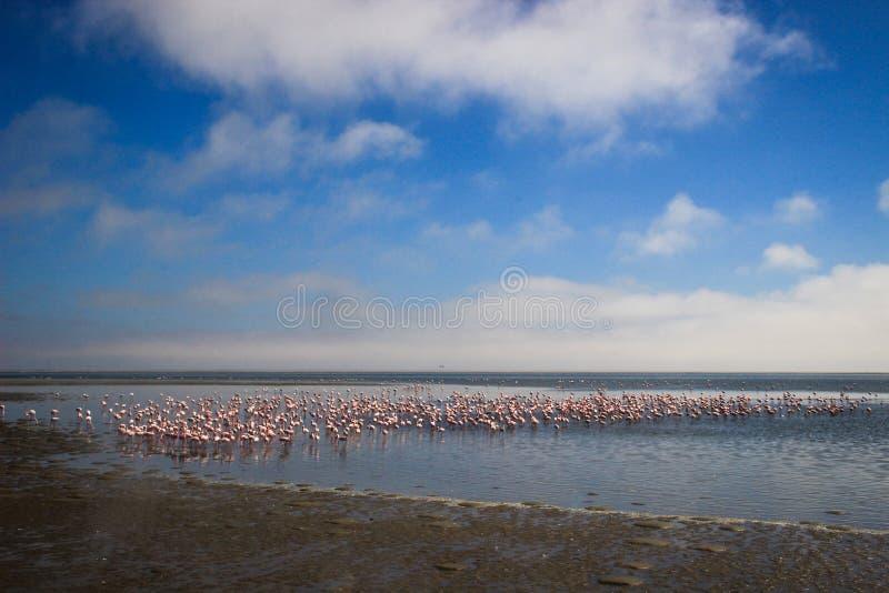 En enorm flock av eleganta rosa flamingo som söker efter blötdjur i kalla vattnen av Atlanticet Ocean arkivbild