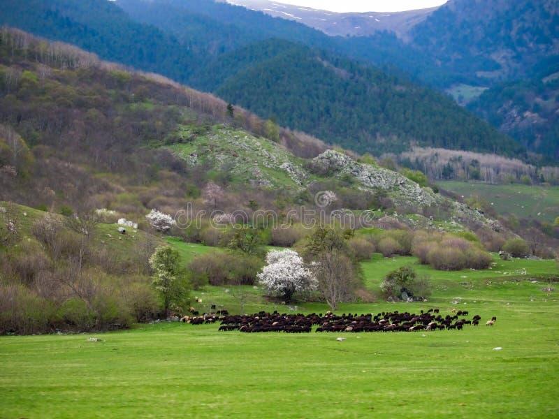 En enorm flock av lösa får som betar i en äng i utlöparen av bergen arkivbild
