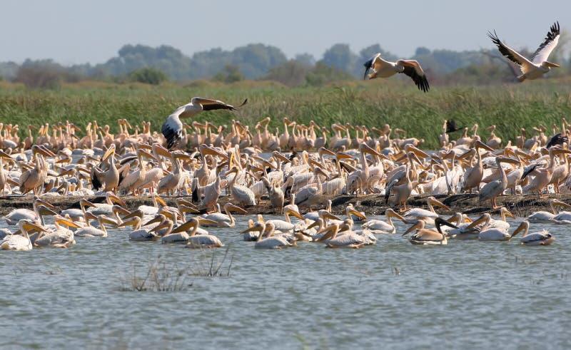 En enorm flock av vita pelikan på ön av Ermakov arkivbilder