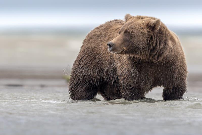 En enorm grisslybjörn som fiskar Salomon under lågvatten, i Katmai royaltyfri bild
