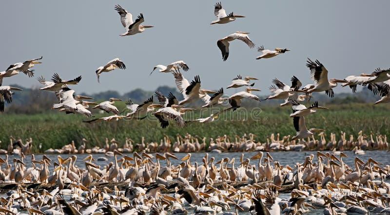 En enorm klunga av vita pelikan arkivfoto