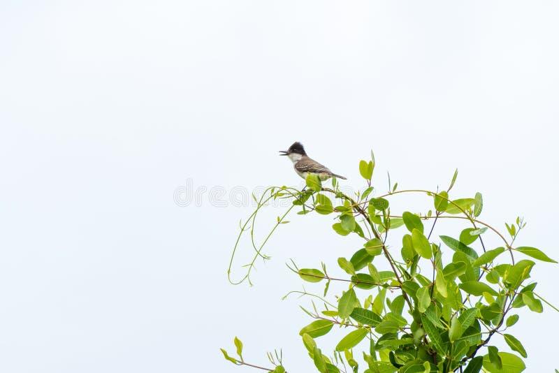 En ensam östlig Kingbird arkivbilder