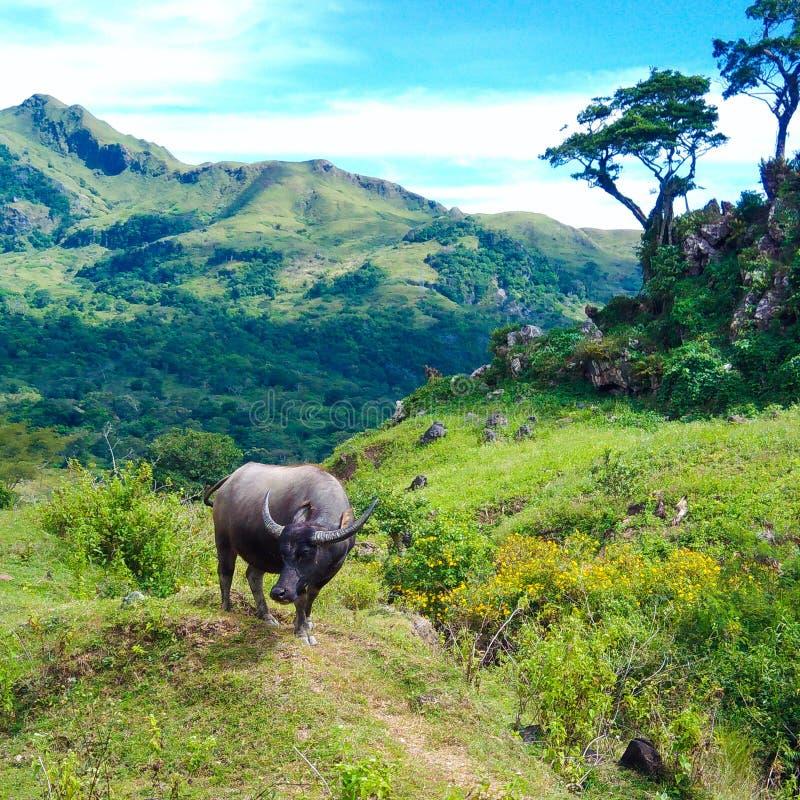 En ensam buffel i fältet royaltyfria bilder