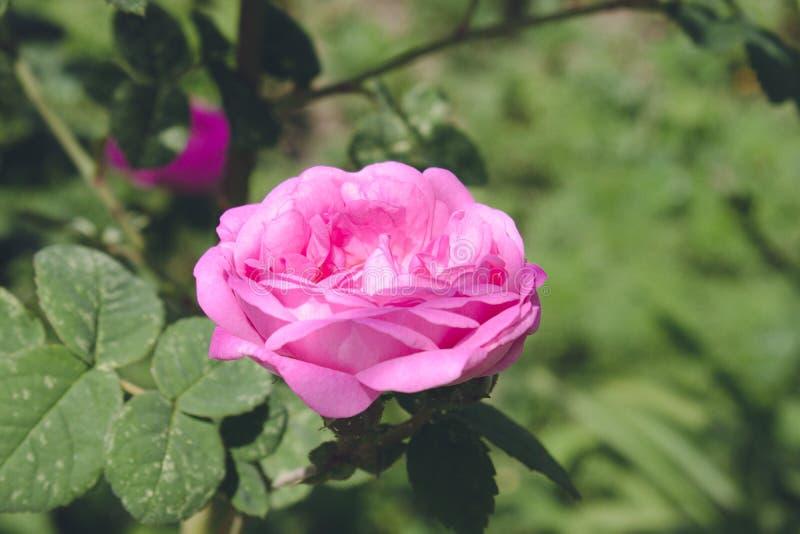 En ensam färgrik rosa färg steg i trädgården arkivbilder