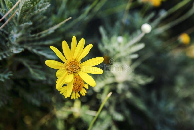 En ensam gul lös blomma i trädgården N?rbild h?rlig sikt arkivbild