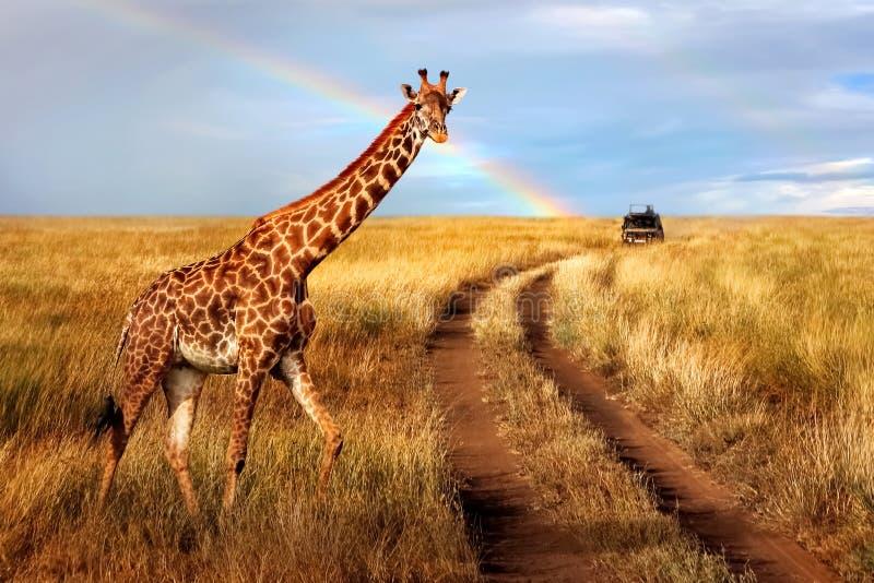 En ensam härlig giraff i den varma afrikanska savannet mot den blåa himlen med en regnbåge Serengeti nationalpark royaltyfri bild