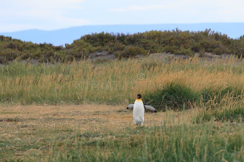 En ensam konung Penguin, Aptenodytespatagonicus som stöter ihop med gräset på Parque Pinguino Rey, Tierra del Fuego Patagonia arkivfoton