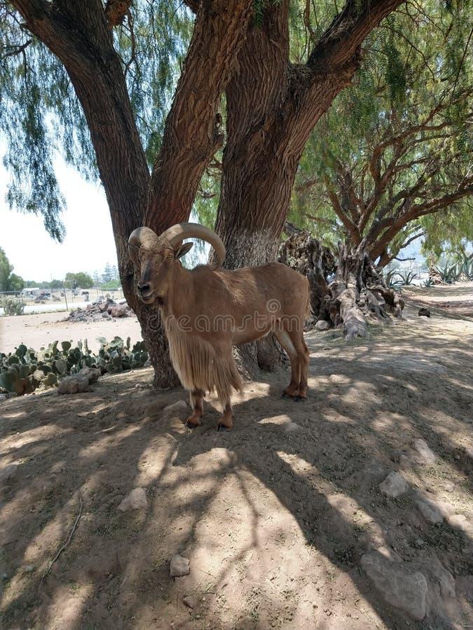 En ensam lång horned get royaltyfri bild