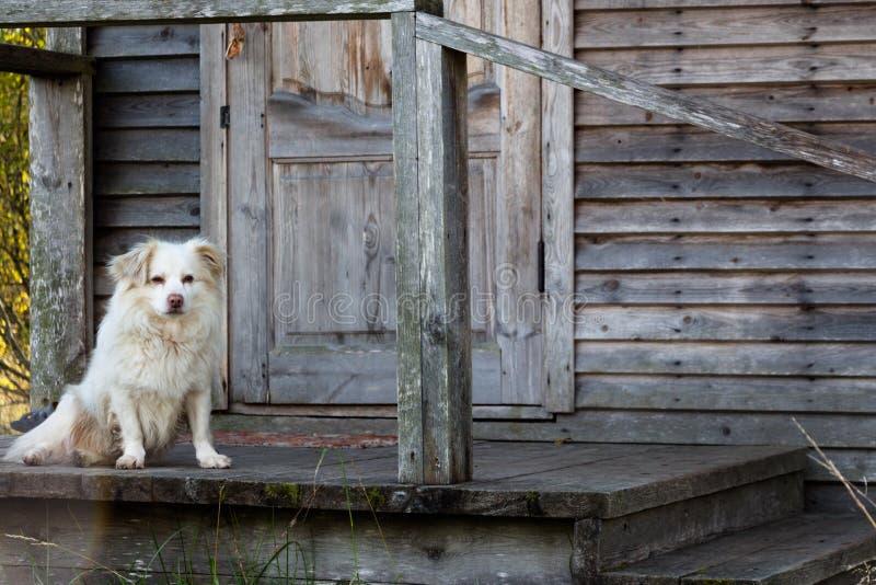 En ensam vit hund sitter på farstubron av huset royaltyfri fotografi
