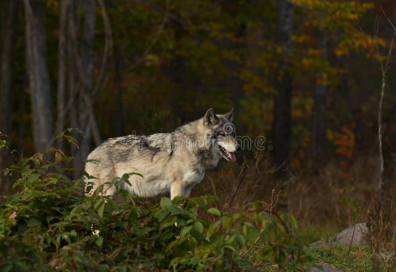 En ensamt timmervarg eller Grey Wolf anseende på en stenig klippa på en regnig dag för höst i Kanada royaltyfria foton