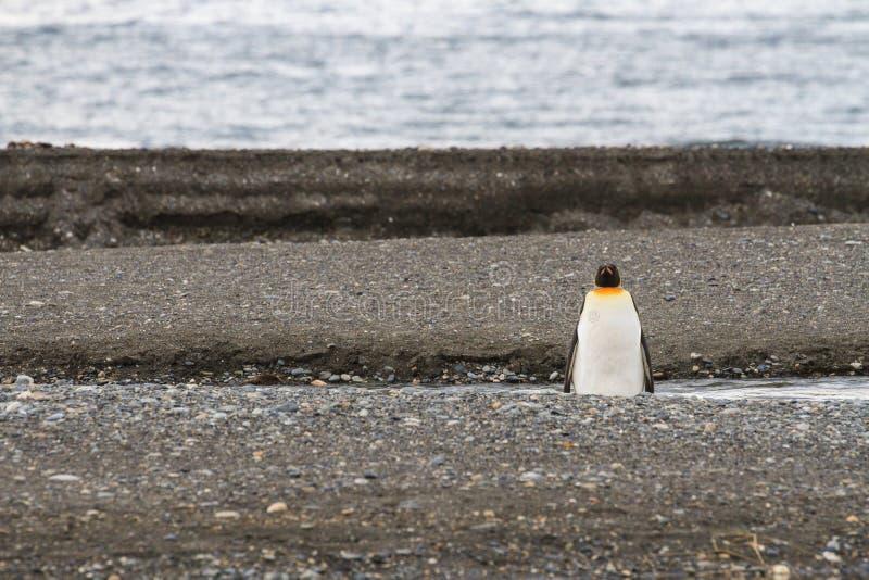 En enslig konung Penguin, Aptenodytespatagonicus, på stranden på Parque Pinguino Rey, Tierra del Fuego Patagonia fotografering för bildbyråer