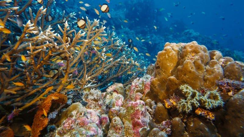 En epåletthajHemiscyllium ocellatum också som är bekant som en gå haj, kryper över seaflooren, Papua Niugini, Indonesien arkivfoton