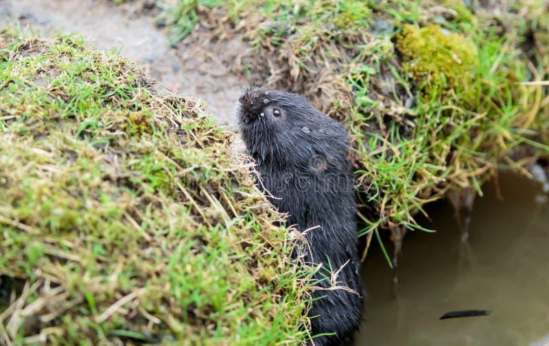 En europeisk vattenvole på en flodbank royaltyfri foto