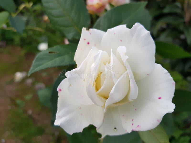 En explosie van wit en roze royalty-vrije stock afbeeldingen