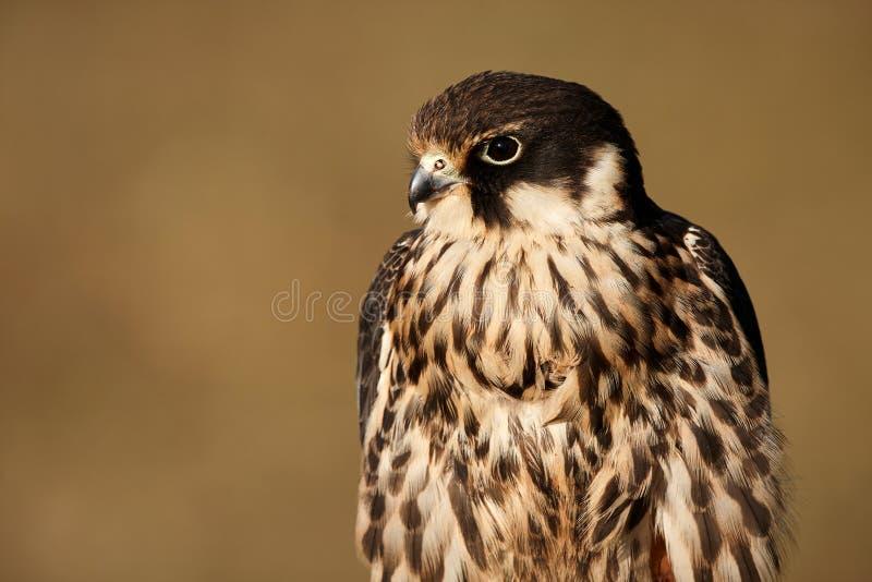 En extrem närbild av framsidan av en Peregrine Falcon Falco peregrinus royaltyfri bild