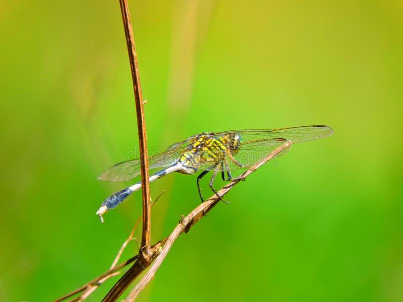 En färgad slända för härlig gräsplan fotografering för bildbyråer